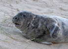 Grey Seal pup, Horsey, Norfolk